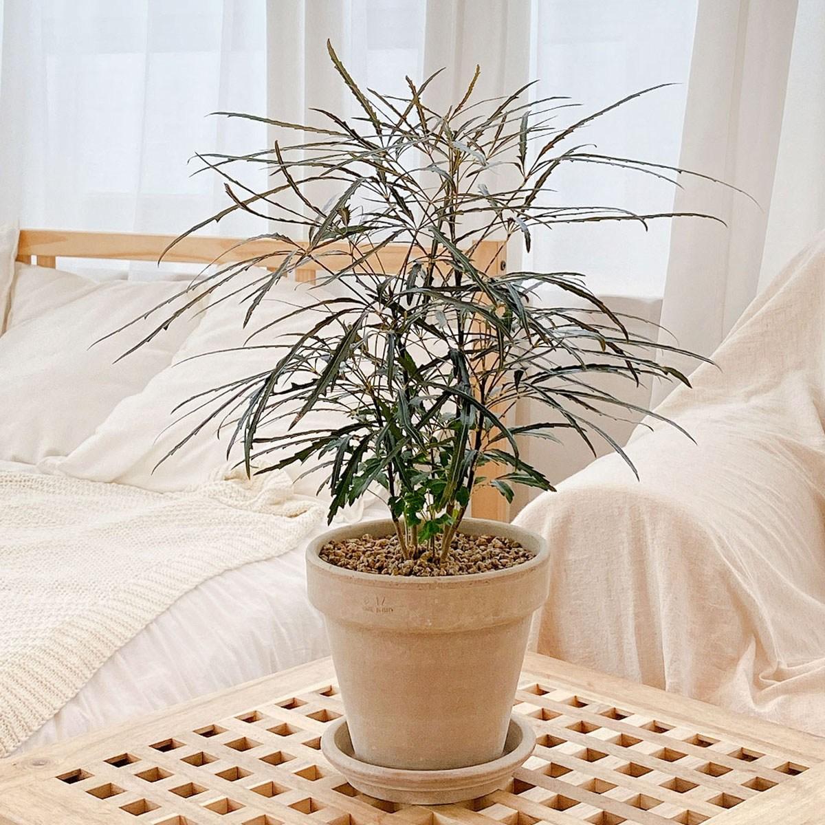 아랄리아 아라리오 집에서키우기쉬운 좋은 그늘에서잘자라는 반음지 공기정화식물 집들이 개업 선물 인테리어식물, 선택안함(모종)