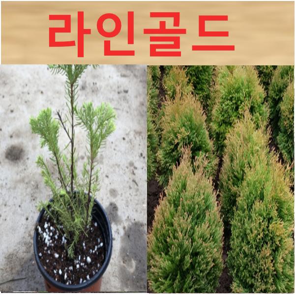 (D성모)라인골드 측백나무 삽목1년(포트) 5그루