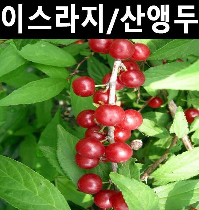 이스라지(산앵두) 키60cm(뿌리)/나무 묘목/꽃나무/조경수