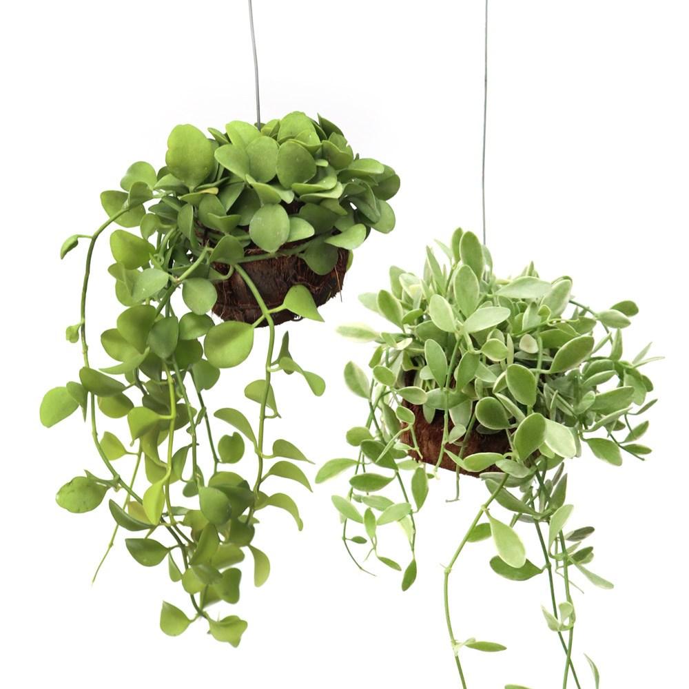 잎새몰 틸란드시아 디시다아 공중식물 행잉플랜트, 그린 1개