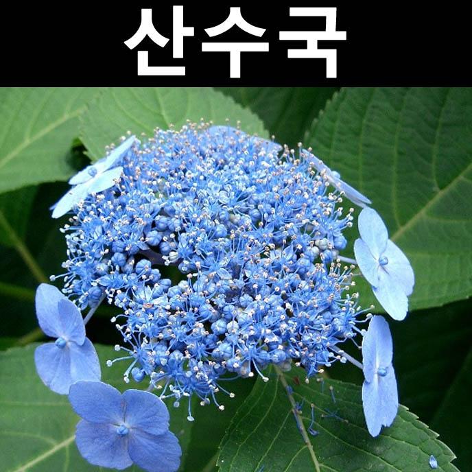 산수국(파랑) 6치포트/나무 묘목/꽃나무/조경/관상수