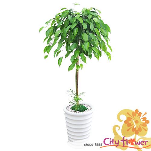 킹벤자민/중대형 공기정화식물/개업선물 이전 집들이/전국2시간당일배송/꽃배달, 단일상품