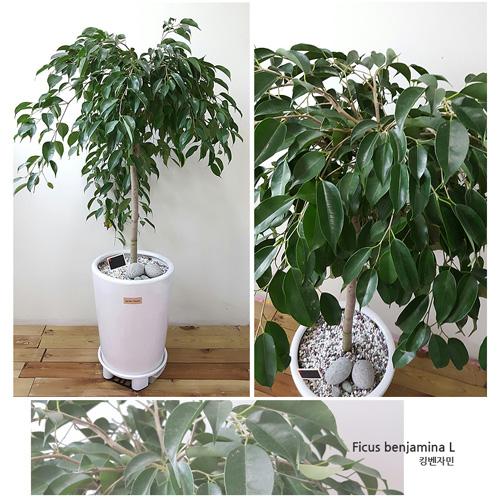 햇살농장 중대형 공기정화 식물 + 화분 특대형, 킹벤자민, 1개