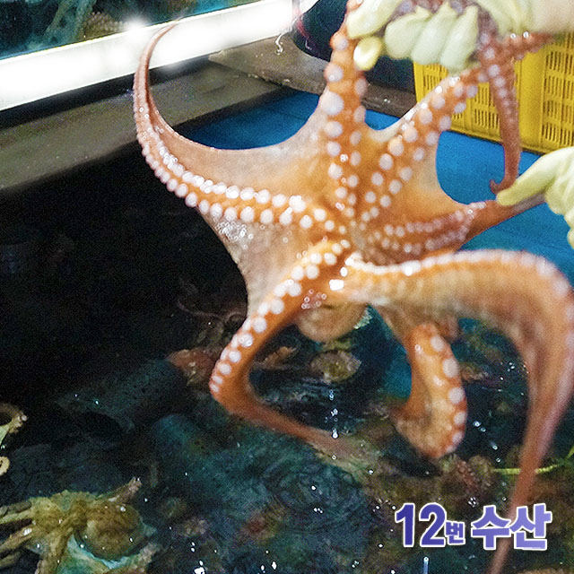 통영12번수산 통영 자연산 돌문어 문어, 1kg (2~3미), 1 (1봉)