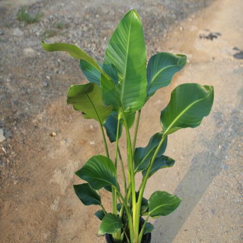 온누리농원 극락조(여인초), 1
