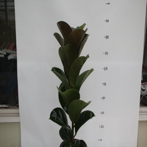 온누리농원 인도고무나무(외대), 1