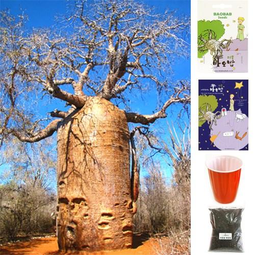 리틀바오밥 바오밥나무 씨앗 8종 DIY세트 + 사은품4종, A-2 루브로스티파, 1팩
