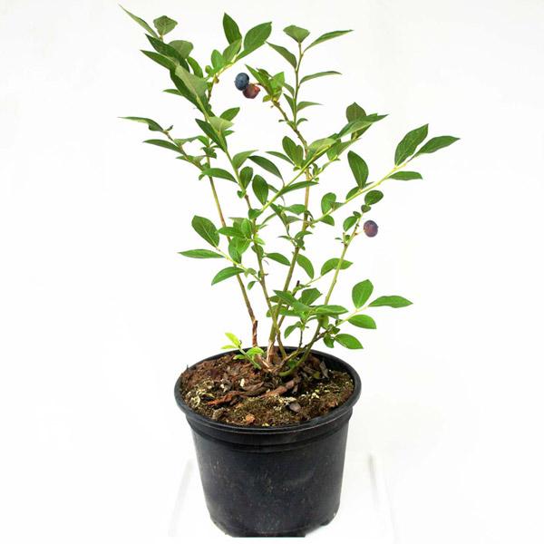 그린플랜트 블루베리 아로니아 식용식물 약용식물 모종 식물 화분, 블루베리(중형)2개, 1세트