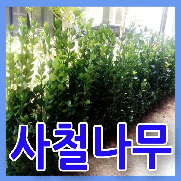 지엘파크농장 사철나무50그루 약70~80cm 사철푸른나무 울타리조경수 특가세일