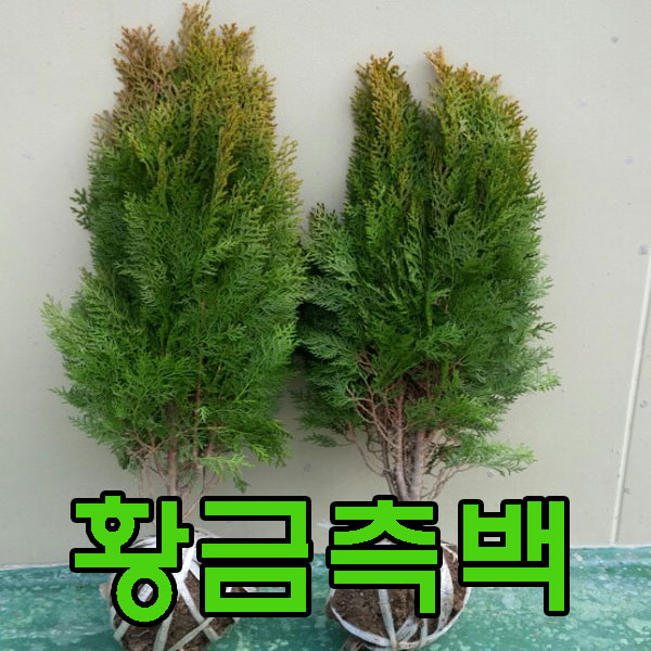 지엘파크농장 황금측백나무약70cm~80cm 2그루 정원수 울타리조경수