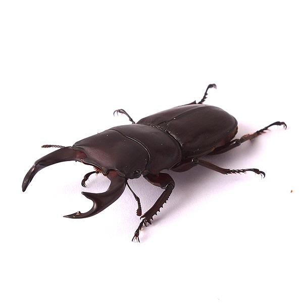 왕사슴벌레 수 1마리 (58~60mm), 단품
