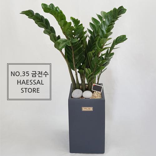 햇살농장 대형화분 공기정화식물, 35.금전수, 1개