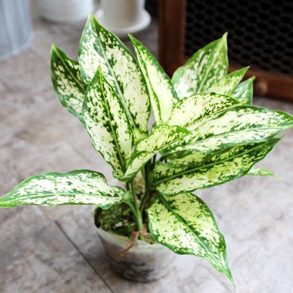모리앤 초특가 공기정화식물, 공기정화식물 스노우사파이어