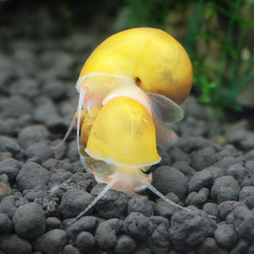수아쿠아 애플 스네일 [2마리] 1cm 전후 달팽이 스네일류 사료찌꺼기 청소, 2마리