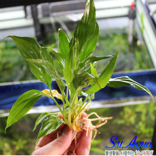 스파트필름 (spathiphyllum) [2촉] 초보자수초 자연수초 아름다운수초, 1개