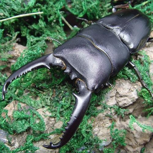 파브르 넓적사슴벌레 성충 수컷 (대형65mm이상)