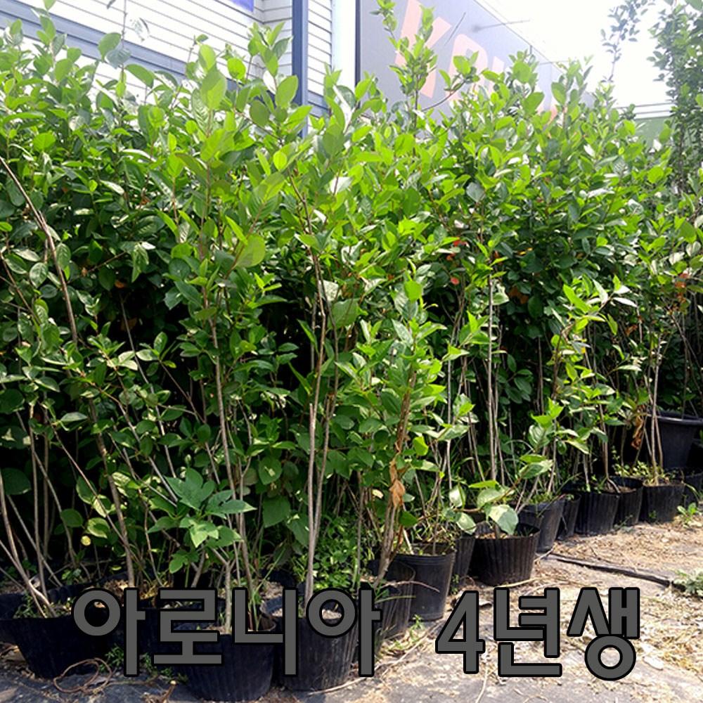 나무 팜 (자연농원) [1set = 2개 가격] 아로니아 묘목 블루베리 묘목, 아로니아4년생, 1세트