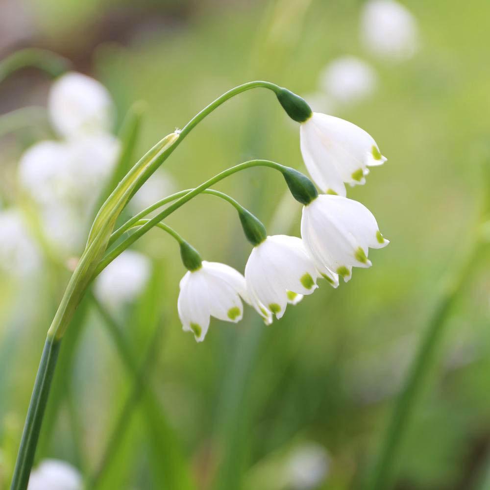 은방울 꽃 은방울 수선 은방울 수선화 레코줌 그레비티 자이언트 구근, 1개