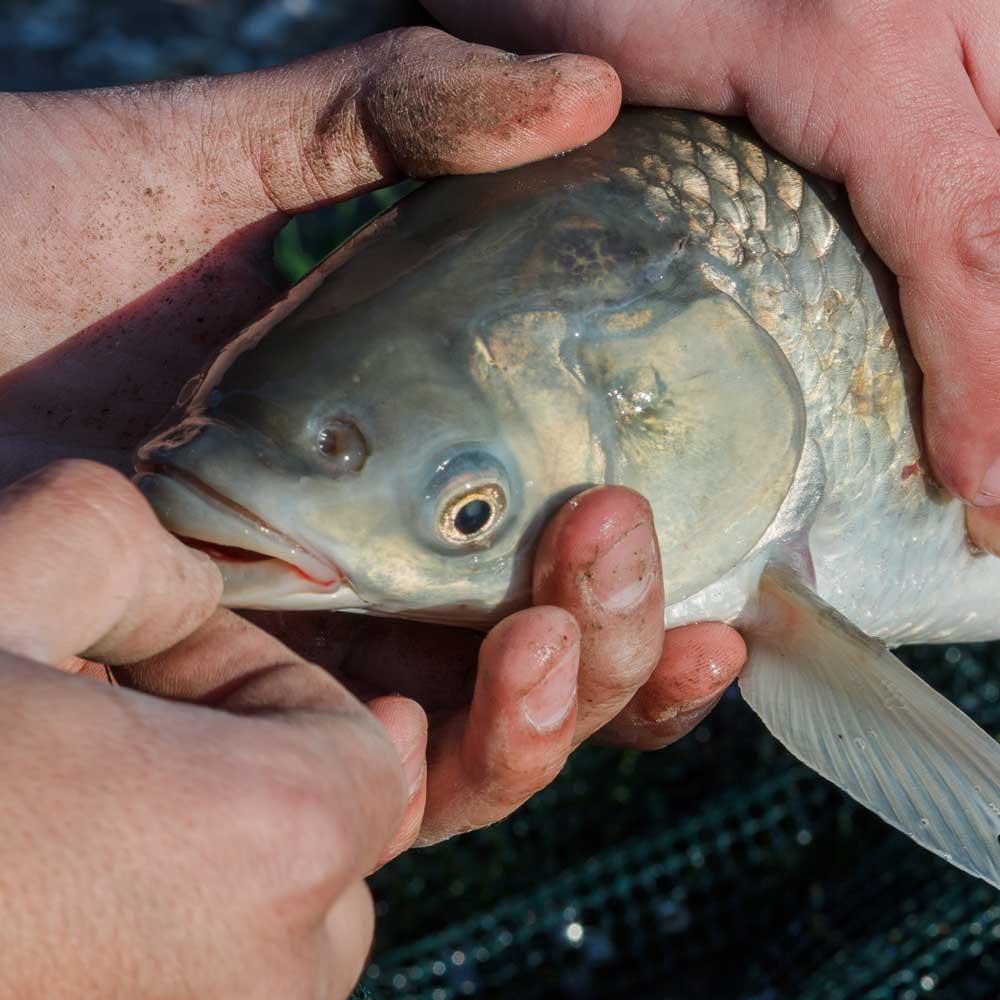 [산지직송] 구례 섬진강 자연산 잉어즙 산모에게 좋은 음식 선물 120ml 30팩