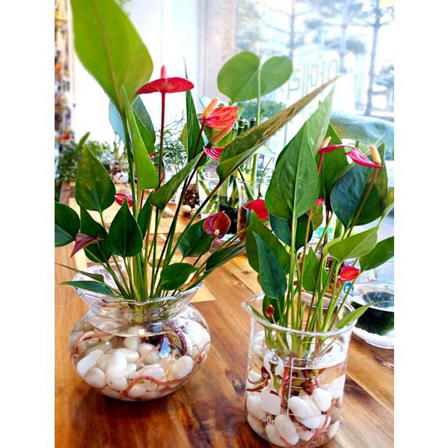 초록바위 공기정화식물 수경식물 화분, 복주머니 안시리움, 1개
