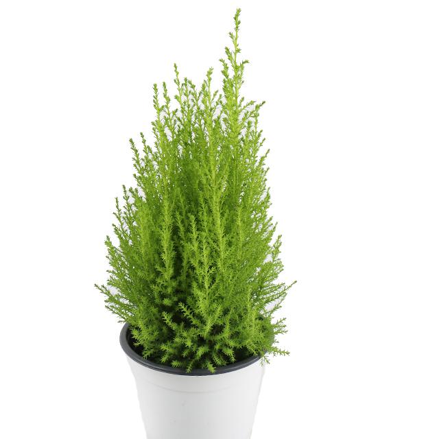 갑조네 공기정화식물 율마 화분
