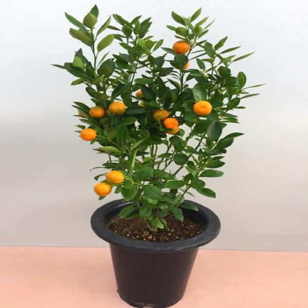 [용이네화원] 유주나무 유주 유자 탱자 귤 과실수350