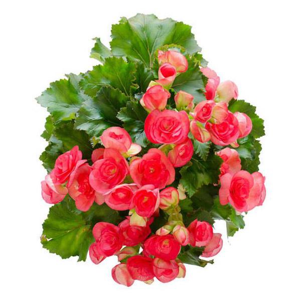 그린플랜트 꽃화분 꽃있는 식물 화분, 꽃베고니아