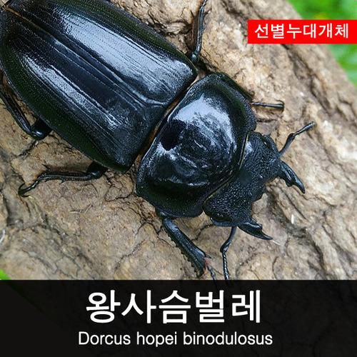 (초/중급 사육용) 왕사슴벌레46~47mm 암컷, 왕사슴벌레암컷