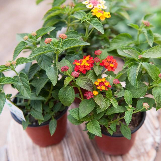 갑조네 공기정화식물 란타나 꽃식물 꽃화분