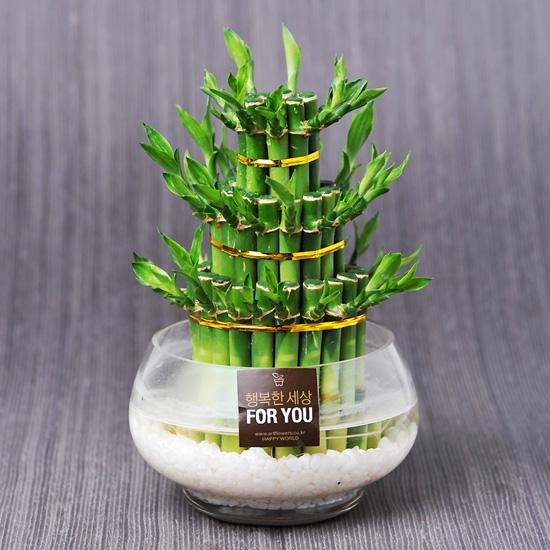 가꾸지오 공기정화식물 먼지제거 천연가습 개운죽원통3단+원형글라스