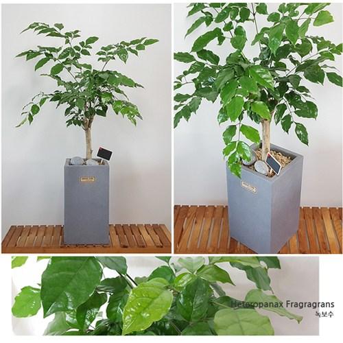 햇살농장 중형 공기정화 식물, 66.녹보수