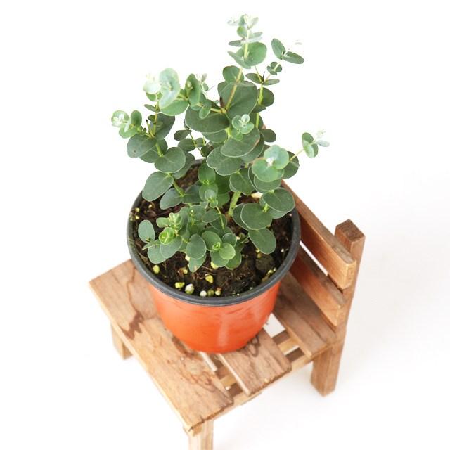 갑조네 유칼립투스 유칼립투스화분 유칼립투스나무 허브 모기퇴치식물 공기정화식물