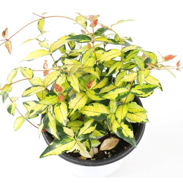 갑조네 공기정화식물 황금마삭줄 중품