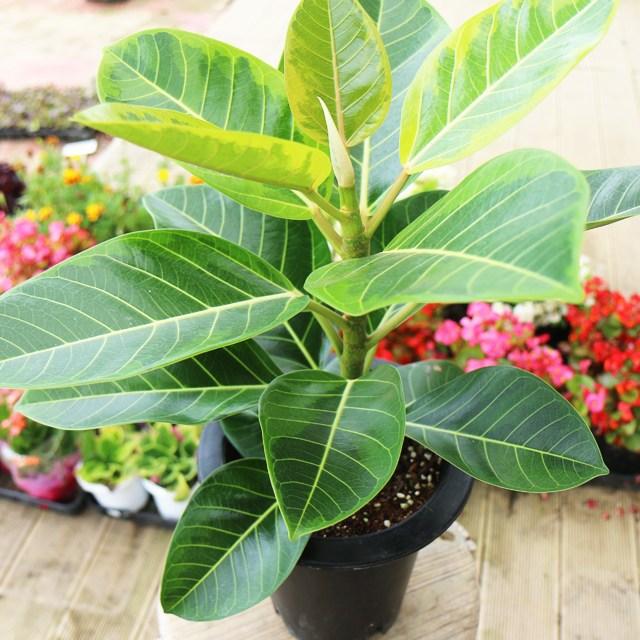 갑조네 뱅갈고무나무 중형 화분 실내공기정화식물 공기정화식물 미세먼지제거 먼지먹는식물