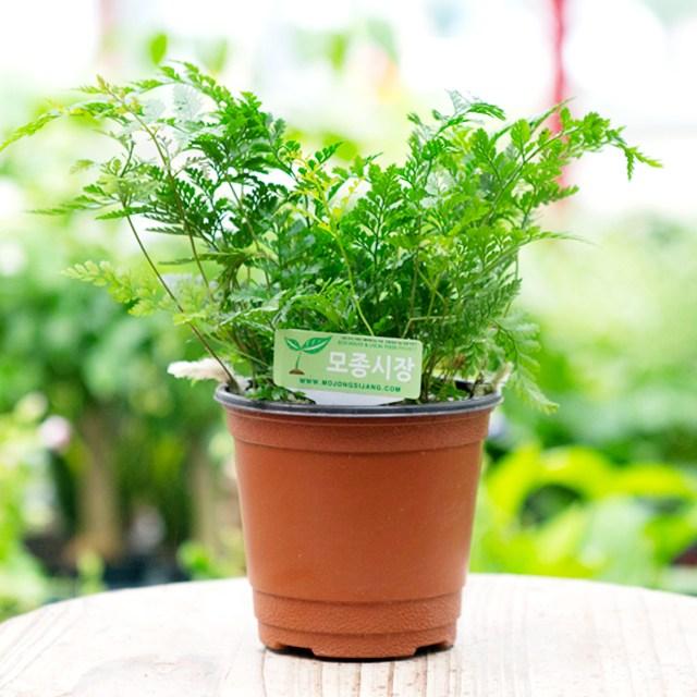 갑조네 넉줄고사리 후마타 공기정화식물 미세먼지제거식물 생화