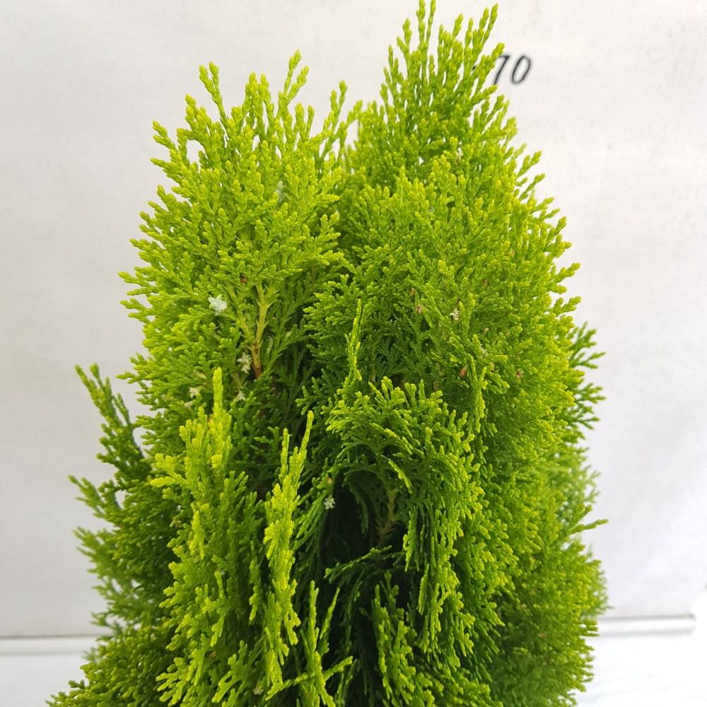 온누리농원 황금측백나무, 1개