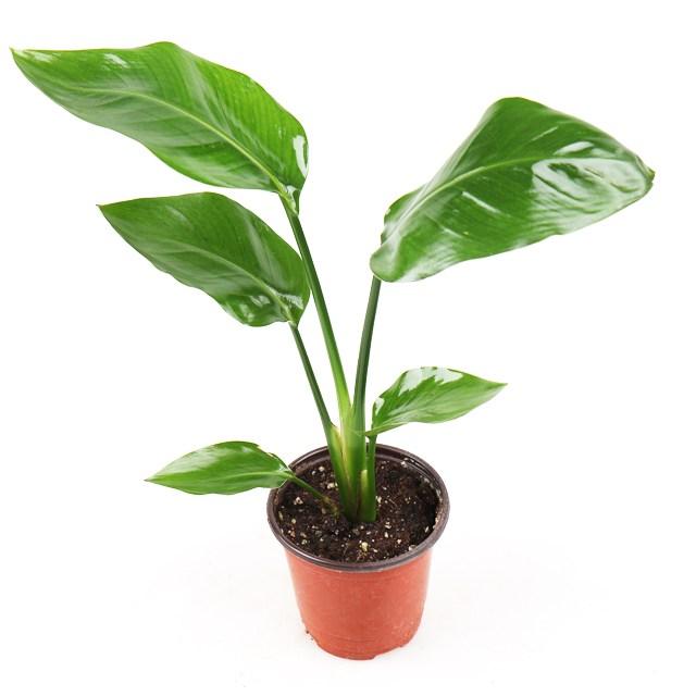 갑조네 극락조 공기정화식물 인테리어 식물 먼지제거, 소, 1개