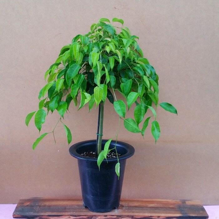 [용이네 화원] 공기정화 식물 킹벤자민 320