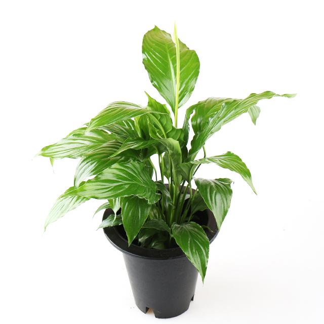 갑조네 스파트필름 중품 스파티필럼 스파티필름 공기정화식물 먼지먹는식물