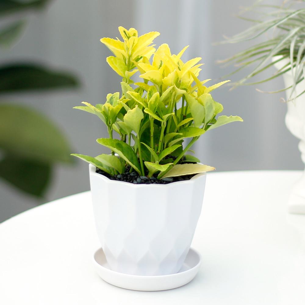 아침향기 실내공기정화식물 어반화분, 어반 금사철, 1개