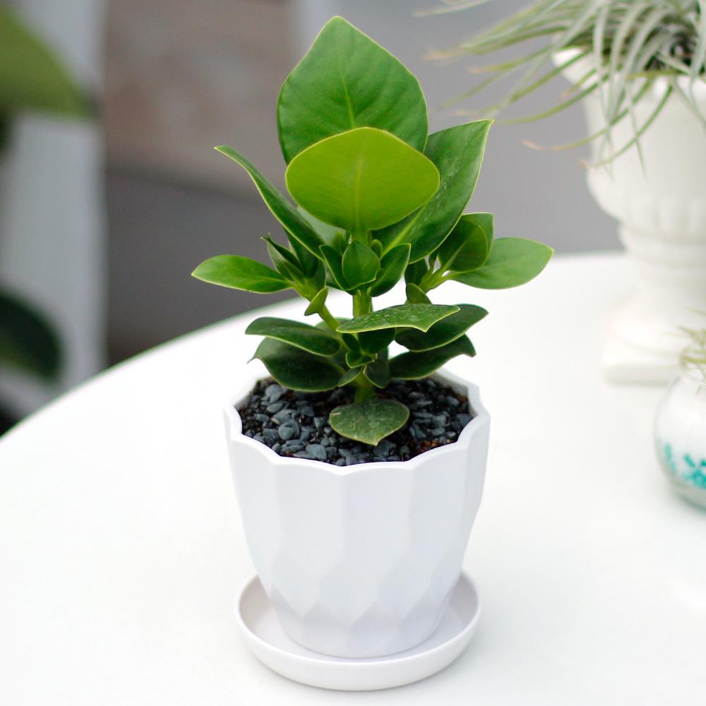 아침향기 실내공기정화식물 어반화분, 어반 크루시아, 1개