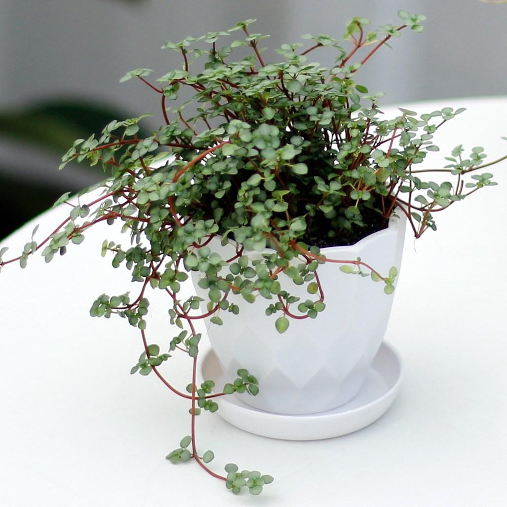 아침향기 실내공기정화식물 어반화분, 어반 타라, 1개