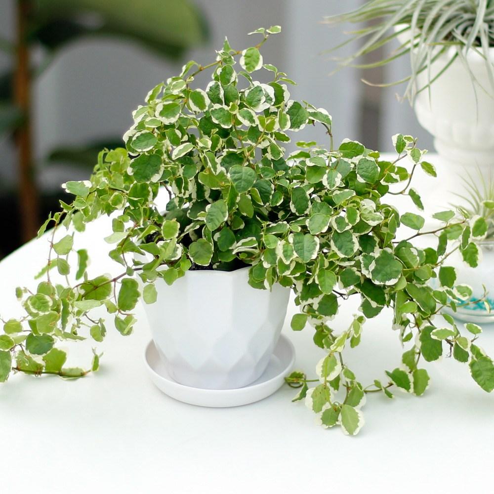 아침향기 실내공기정화식물 어반화분, 어반 퓨미라, 1개
