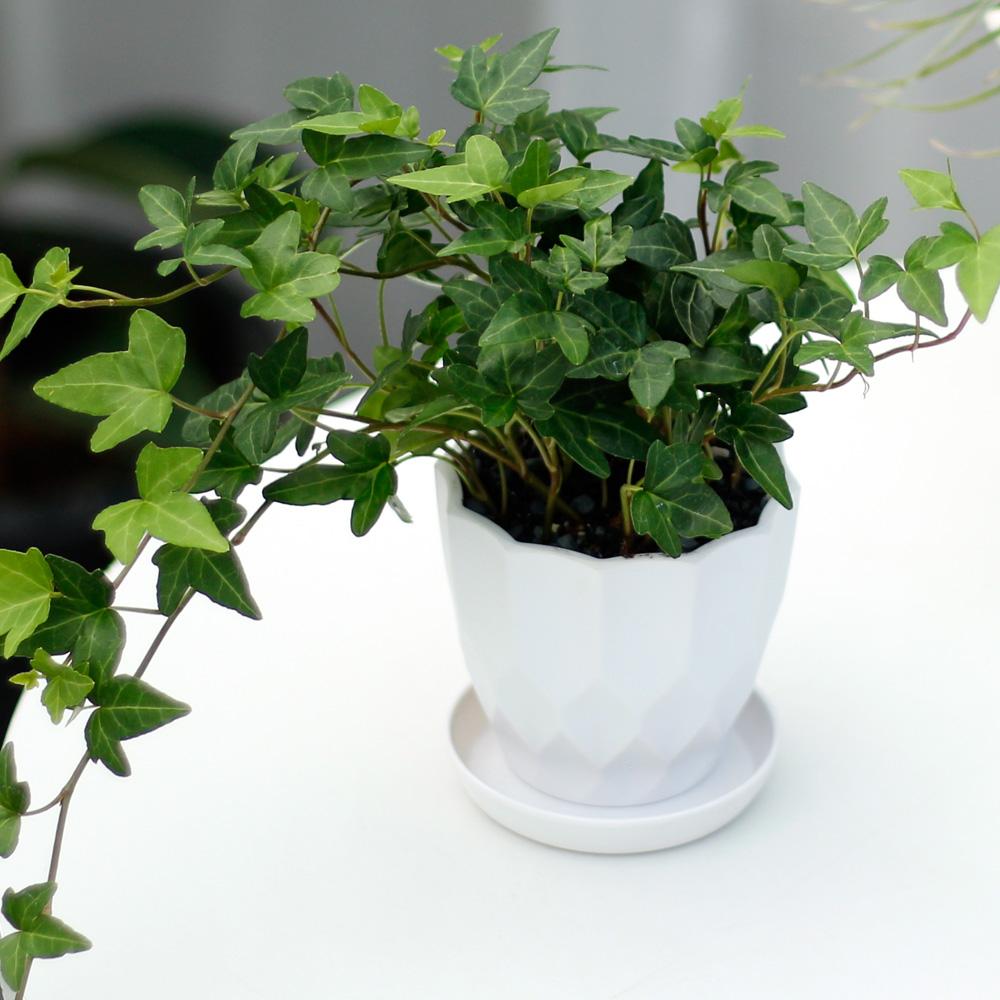 아침향기 실내공기정화식물 어반화분, 어반 아이비, 1개