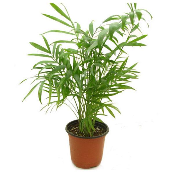 그린플랜트 공기정화식물 테이블야자1+1