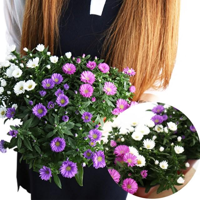 갑조네 아스타 3종 색상랜덤 야생화 노지월동 꽃화분 공기정화식물 꽃모종