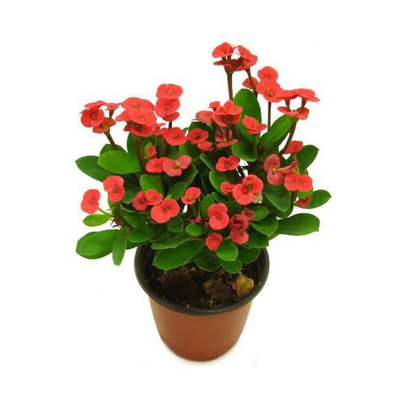 그린플랜트 공기정화식물 꽃기린(레드) 1+1