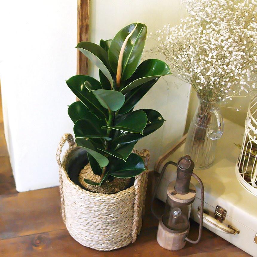 인도고무나무중형라탄바구니세트공기정화식물, 단품