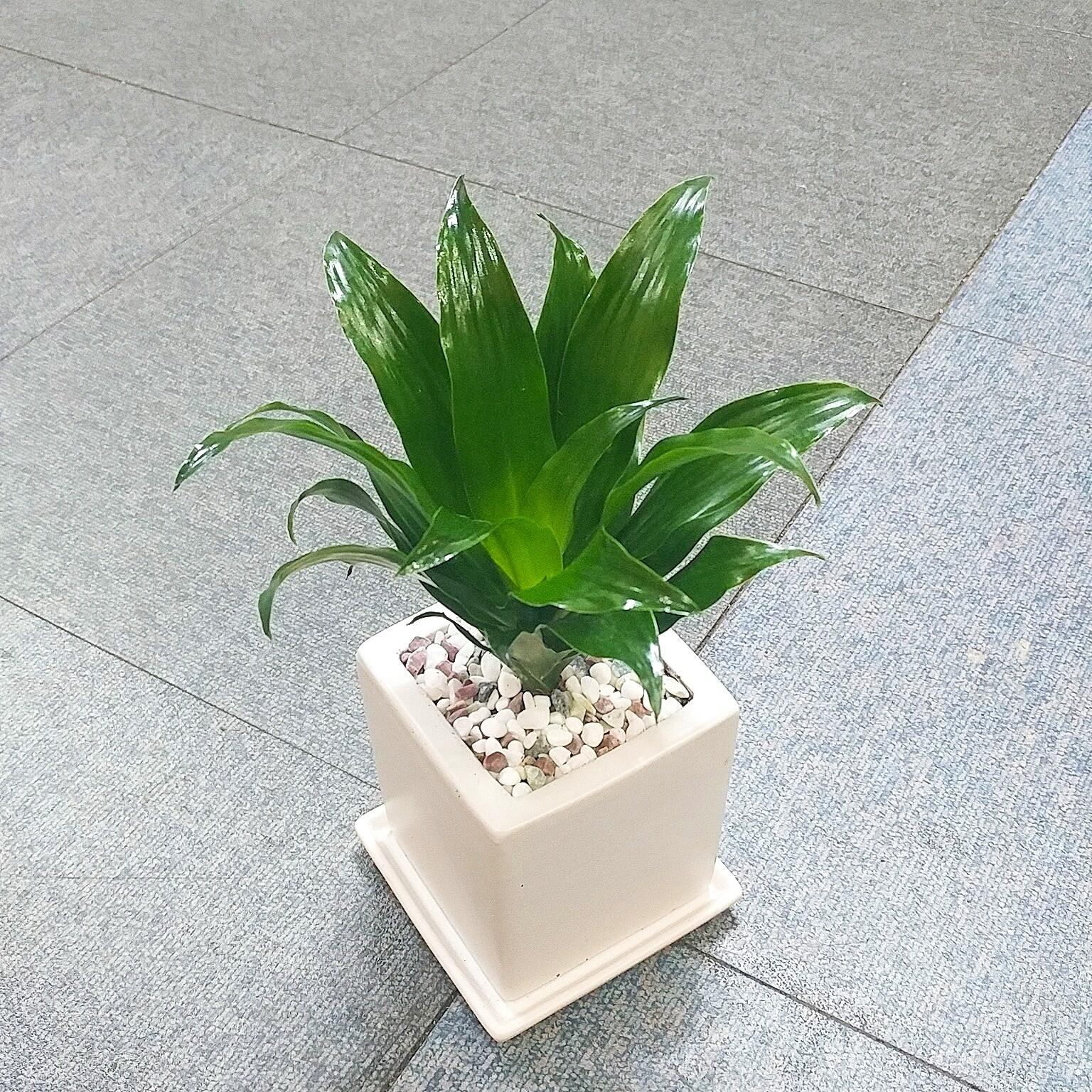 꽃피우는청년 키우기 쉬운 실내공기정화식물 사각 화이트 화분 (무광), 1개, 콤팩타