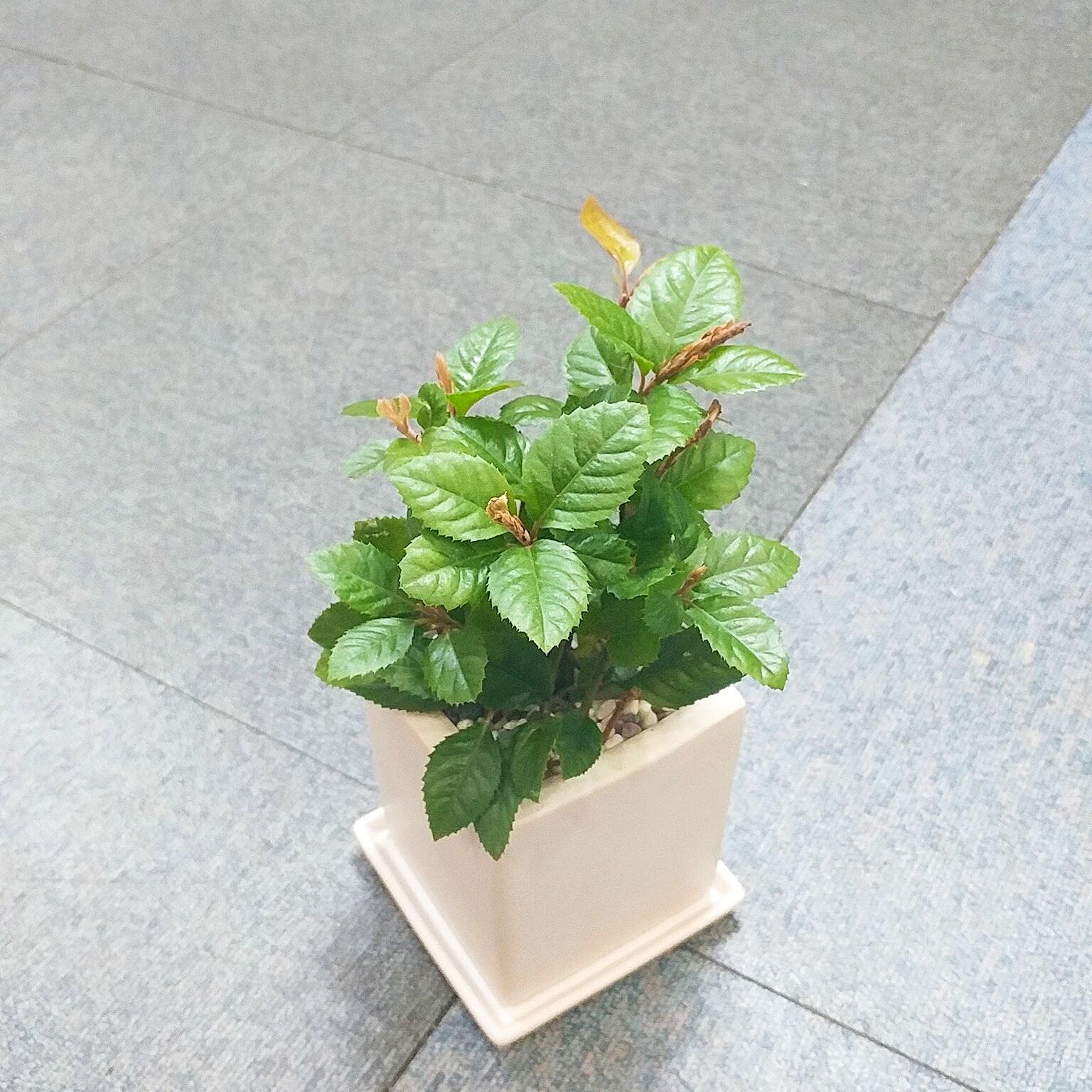 꽃피우는청년 키우기 쉬운 실내공기정화식물 사각 화이트 화분 (무광), 1개, 산호수